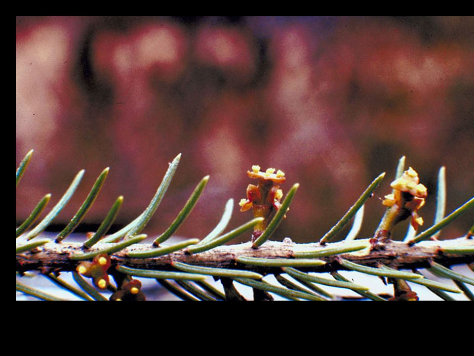 Parasitic Plants Obligate plants that derive their nutrition from trees –Leafy Mistletoe –Dwarf Mistletoe –Dodder
