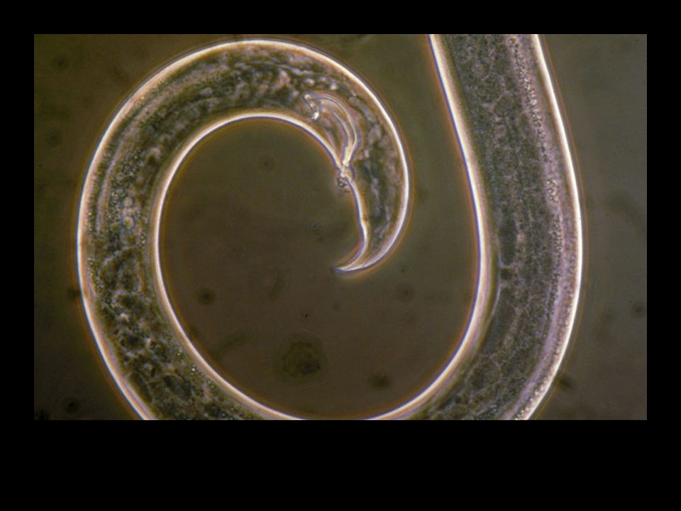 Nematodes Non-segmented microscopic worms Live in soil –Feed on root systems –Vector virus' & bacteria Vectored by insects –Pinewood Nematode