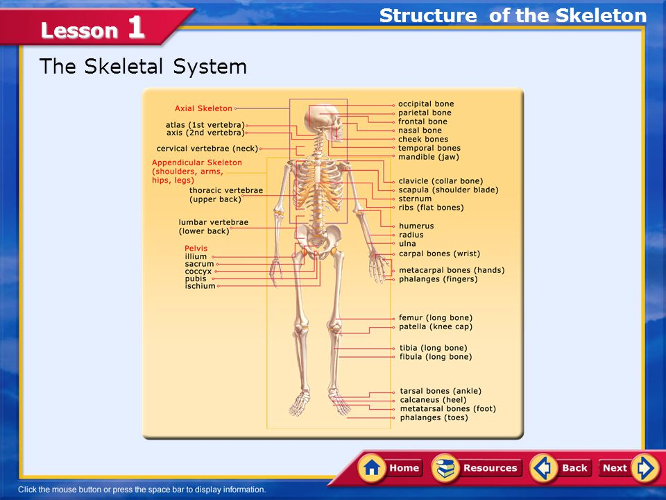 Lesson 1 The Skeletal System Structure of the Skeleton