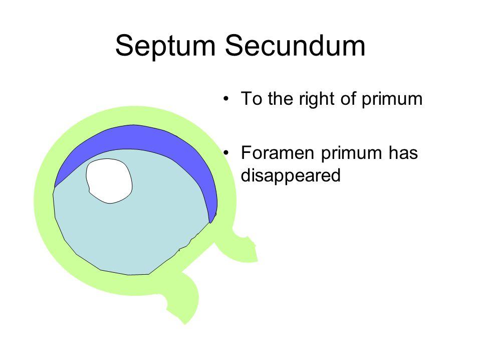 Septum Secundum To the right of primum Foramen primum has disappeared
