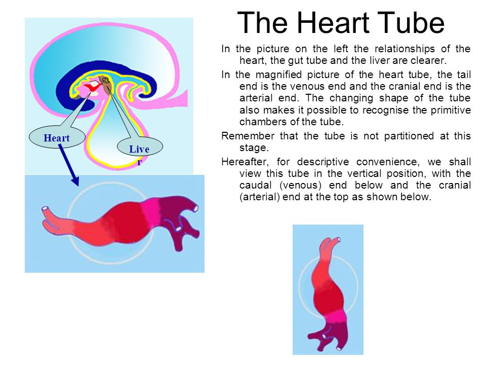 Heart Live r The Heart Tube In the picture on the left the relationships of the heart, the gut tube and the liver are clearer.