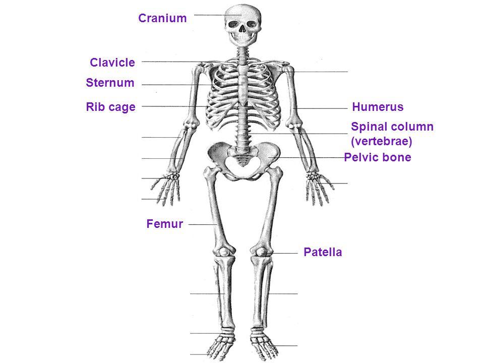 Cranium Clavicle Sternum Rib cageHumerus Spinal column (vertebrae) Pelvic bone Femur Patella
