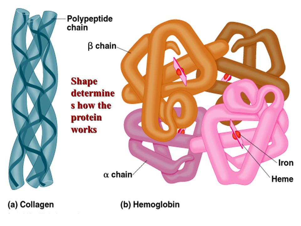 Shape determine s how the protein works