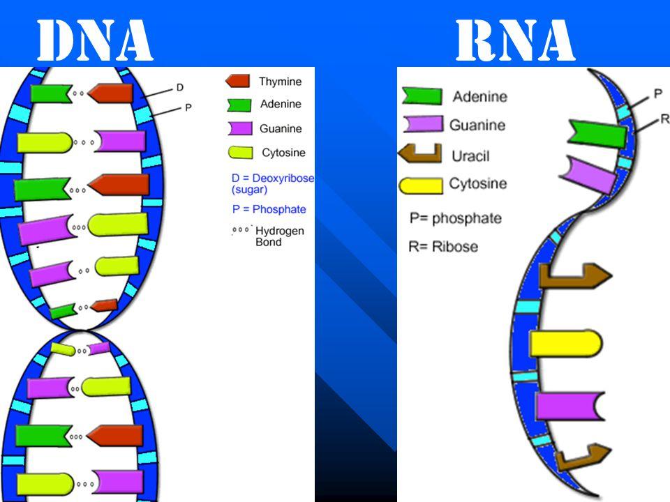 DNARNA