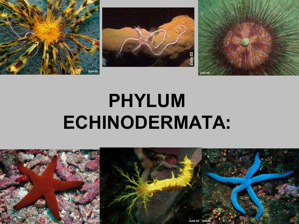 PHYLUM ECHINODERMATA: