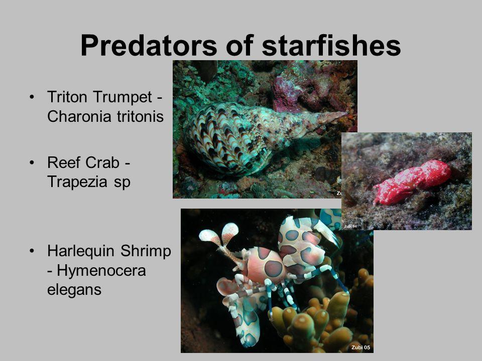 Predators of starfishes Triton Trumpet - Charonia tritonis Reef Crab - Trapezia sp Harlequin Shrimp - Hymenocera elegans