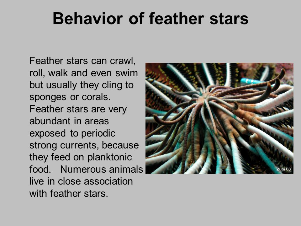 Behavior of feather stars Feather stars can crawl, roll, walk and even swim but usually they cling to sponges or corals. Feather stars are very abunda