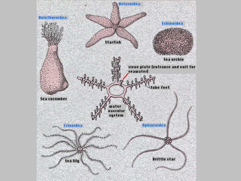 Some echinoderms