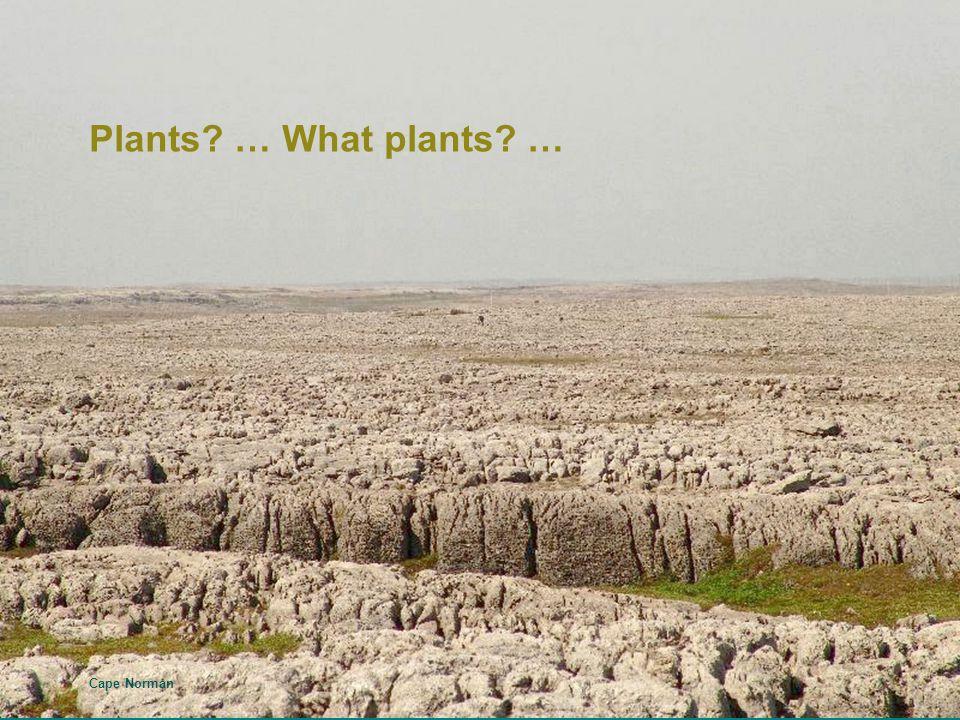 Elegant Milkvetch - Astragalus eucosmus – L'Anse aux Meadows