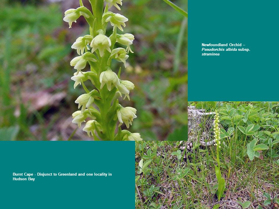 Newfoundland Orchid – Pseudorchis albida subsp. straminea Burnt Cape - Disjunct to Greenland and one locality in Hudson Bay