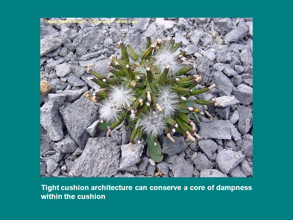 Tight cushion architecture can conserve a core of dampness within the cushion Dwarf Hawk's Beard – Crepis nana – Burnt Cape