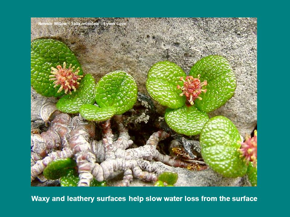 Waxy and leathery surfaces help slow water loss from the surface Netvein Willow – Salix reticulata – Lower Cove
