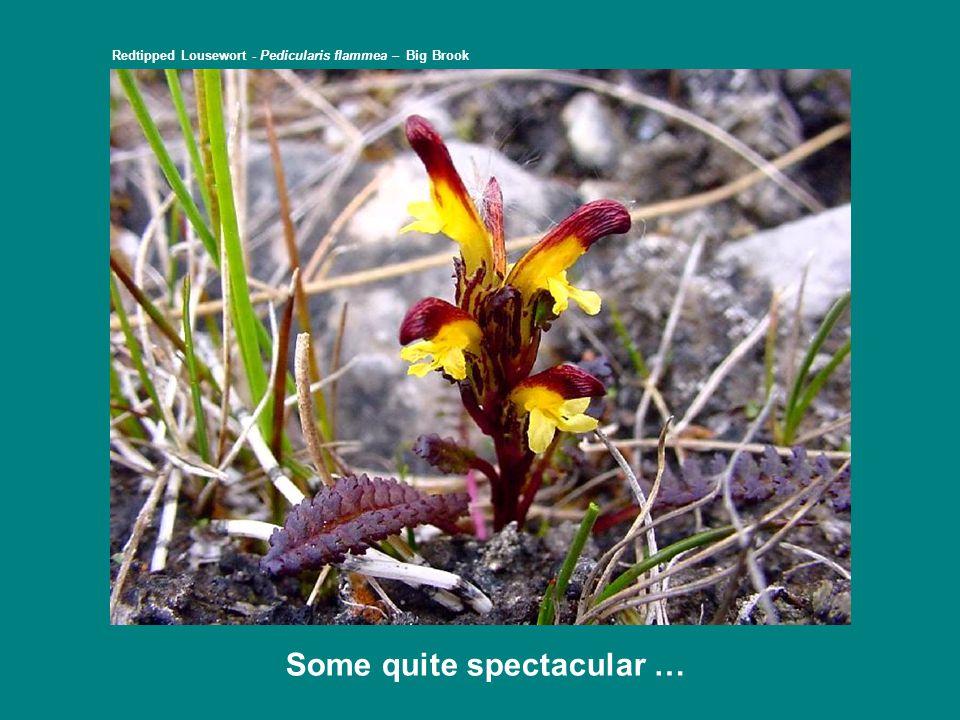 … with the rarer ones just making it … Alpine Milkvetch – Astragalus alpinus var.