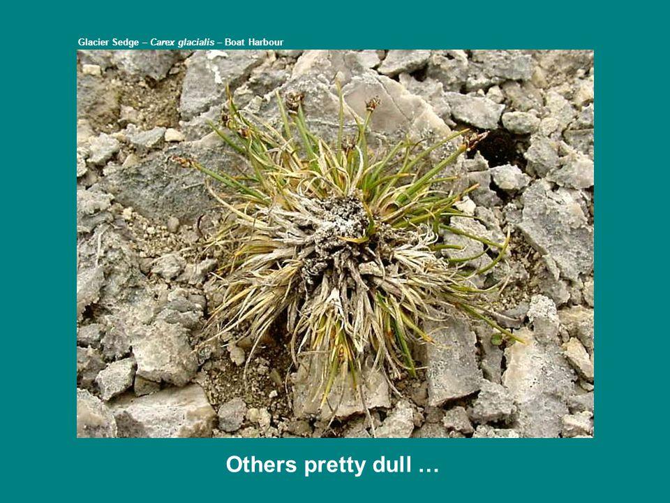 … and some others doing much better Balsam Ragwort – Packera paupercula var.