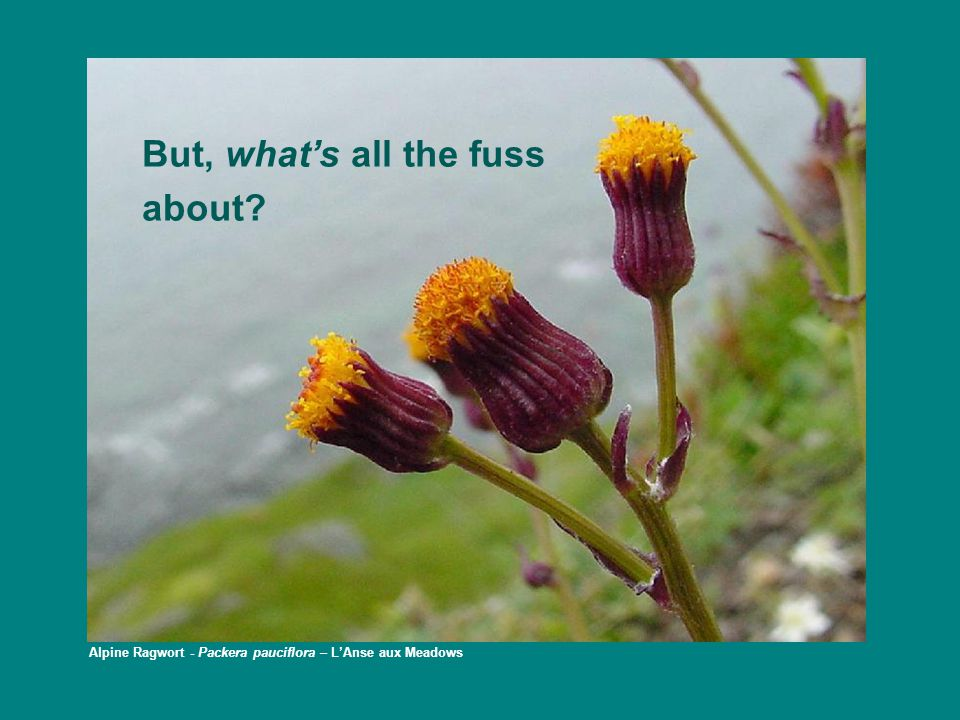 What makes these plants so special? Dwarf Hawk's Beard – Crepis nana – Burnt Cape