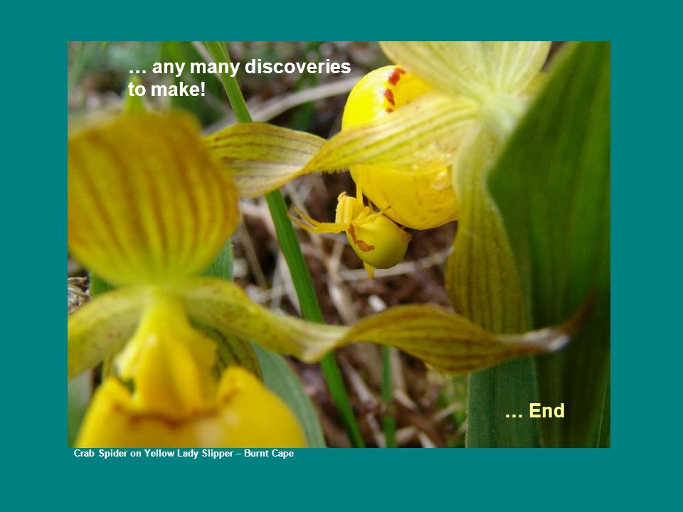 Crab Spider on Yellow Lady Slipper – Burnt Cape … End … any many discoveries to make!
