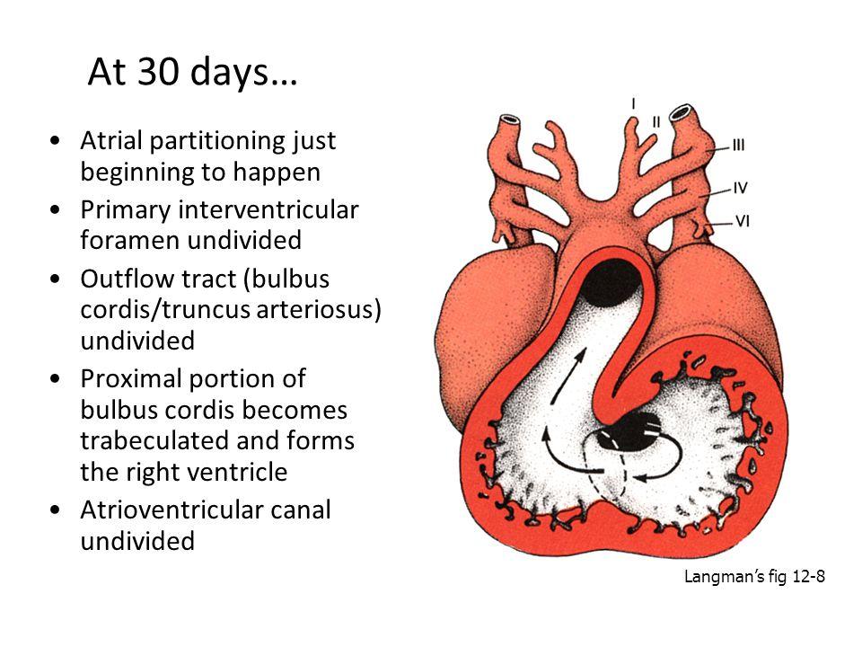 At 30 days… Atrial partitioning just beginning to happen Primary interventricular foramen undivided Outflow tract (bulbus cordis/truncus arteriosus) u