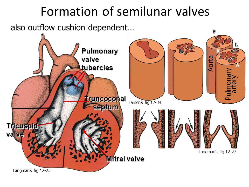 A PP LL R Formation of semilunar valves Truncoconal septum Mitral valve Tricuspid valve Pulmonary valve tubercles Pulmonary artery Aorta also outflow