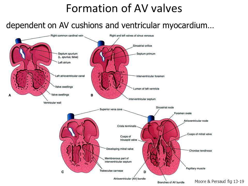 Formation of AV valves dependent on AV cushions and ventricular myocardium… Moore & Persaud fig 13-19