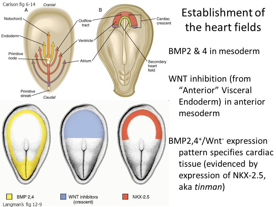 """Establishment of the heart fields BMP2 & 4 in mesoderm WNT inhibition (from """"Anterior"""" Visceral Endoderm) in anterior mesoderm BMP2,4 + /Wnt - express"""