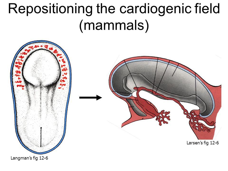 Repositioning the cardiogenic field (mammals) Larsen's fig 12-6 Langman's fig 12-6