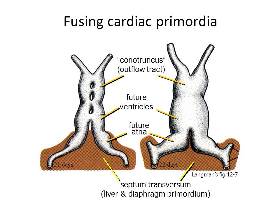 """Fusing cardiac primordia """"conotruncus"""" (outflow tract) future ventricles future atria septum transversum (liver & diaphragm primordium) 21 days 22 day"""