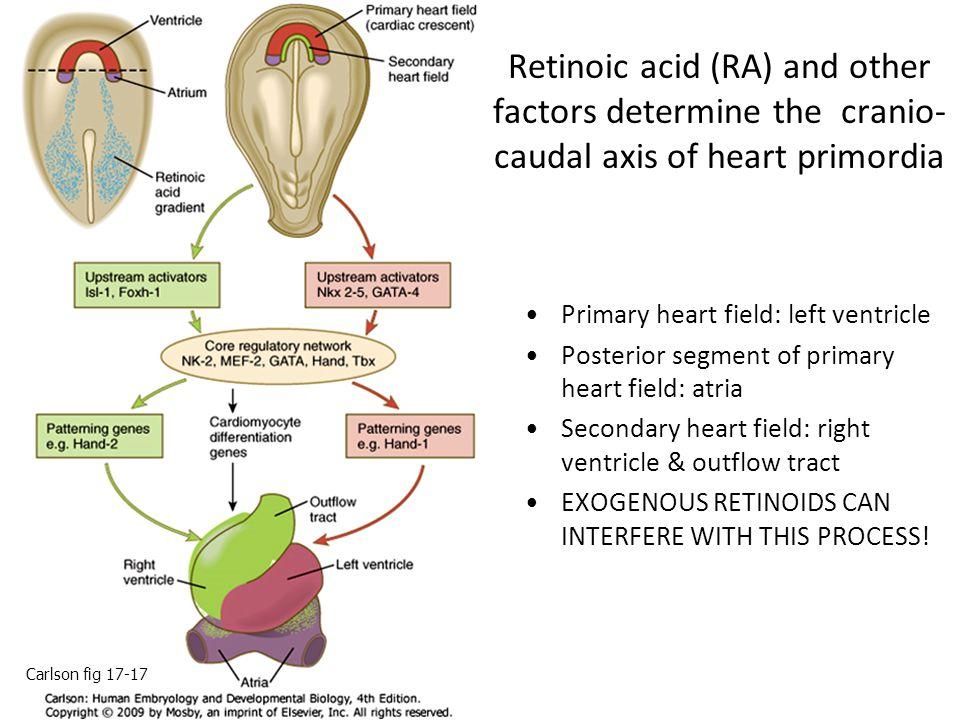 Retinoic acid (RA) and other factors determine the cranio- caudal axis of heart primordia Primary heart field: left ventricle Posterior segment of pri