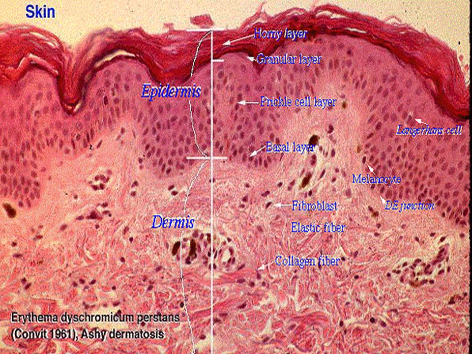 1. Dense Regular C. T. Collagen fibers are parallel (aligned with the forces applied to tissue).