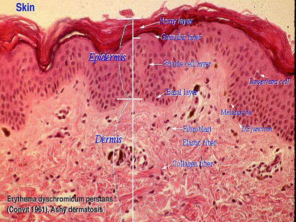 1.Adipose Tissue Most of volume is adipocytes.