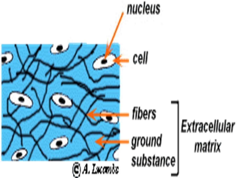 Types of Cartilage 3.Fibrocartilage- little ground substance; matrix mostly collagen fibers.