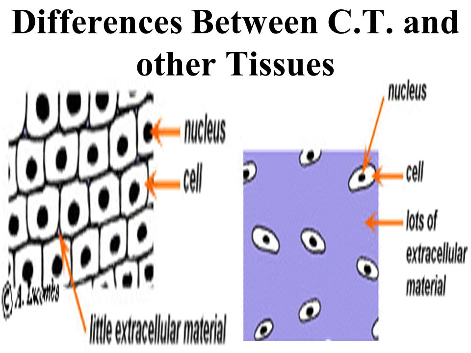 Differences Between C.T. and other Tissues