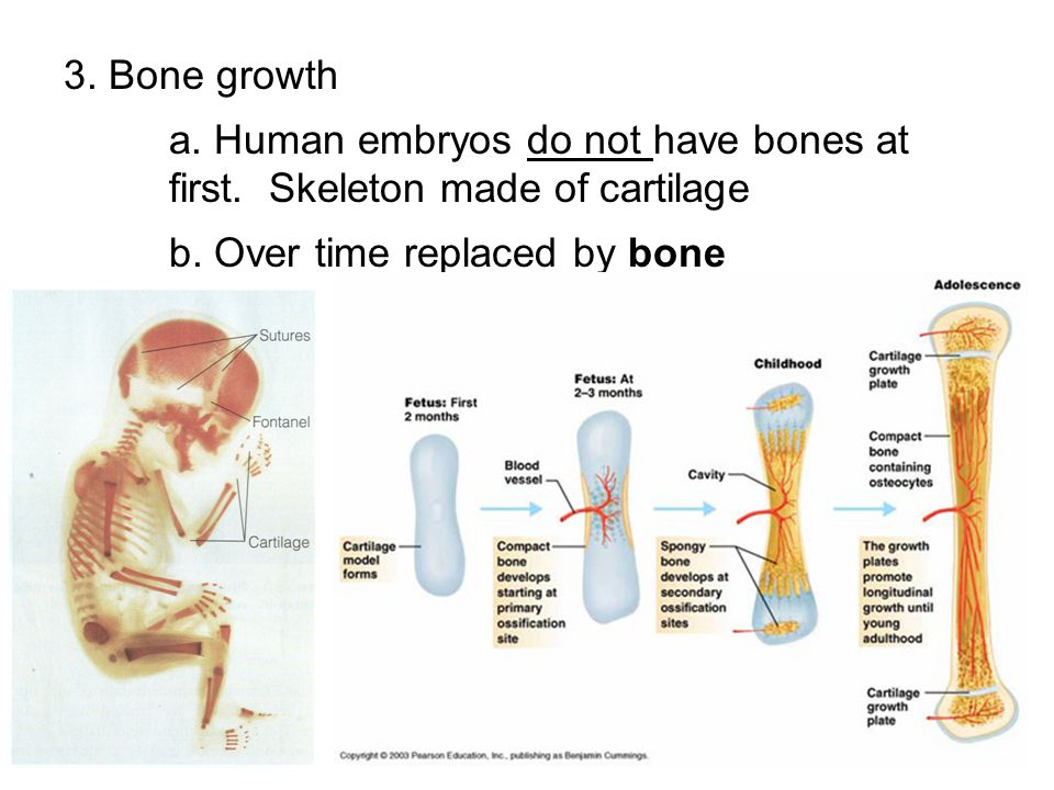 3. Bone growth a. Human embryos do not have bones at first. Skeleton made of cartilage b. Over time replaced by bone