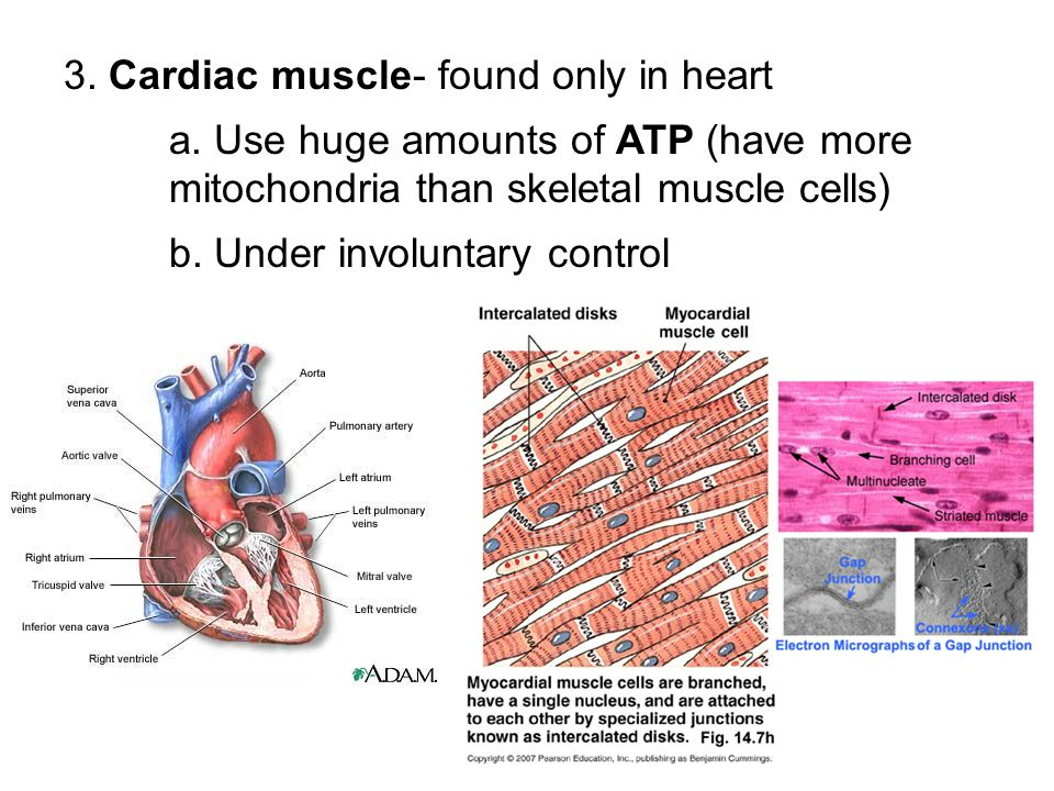 3. Cardiac muscle- found only in heart a. Use huge amounts of ATP (have more mitochondria than skeletal muscle cells) b. Under involuntary control