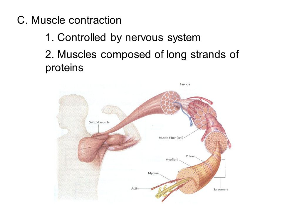 C. Muscle contraction 1. Controlled by nervous system 2. Muscles composed of long strands of proteins