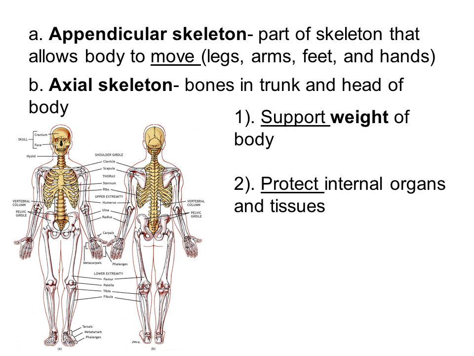 a. Appendicular skeleton- part of skeleton that allows body to move (legs, arms, feet, and hands) b. Axial skeleton- bones in trunk and head of body 1