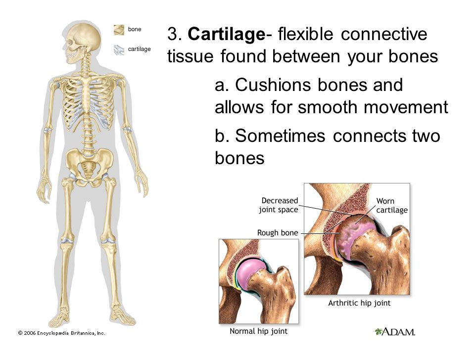 3. Cartilage- flexible connective tissue found between your bones a. Cushions bones and allows for smooth movement b. Sometimes connects two bones