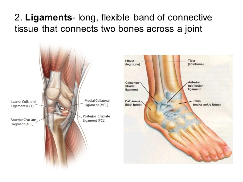 2. Ligaments- long, flexible band of connective tissue that connects two bones across a joint