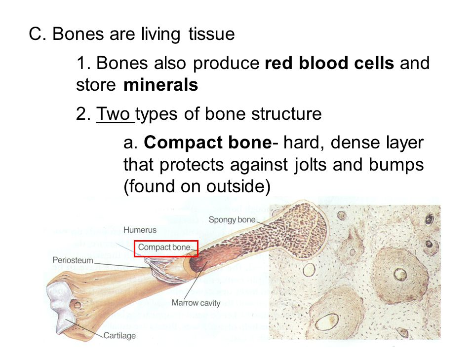 C. Bones are living tissue 1. Bones also produce red blood cells and store minerals 2. Two types of bone structure a. Compact bone- hard, dense layer