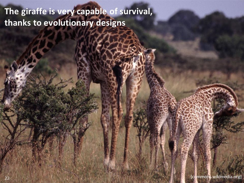 The giraffe is very capable of survival, thanks to evolutionary designs 22 [commons.wikimedia.org]