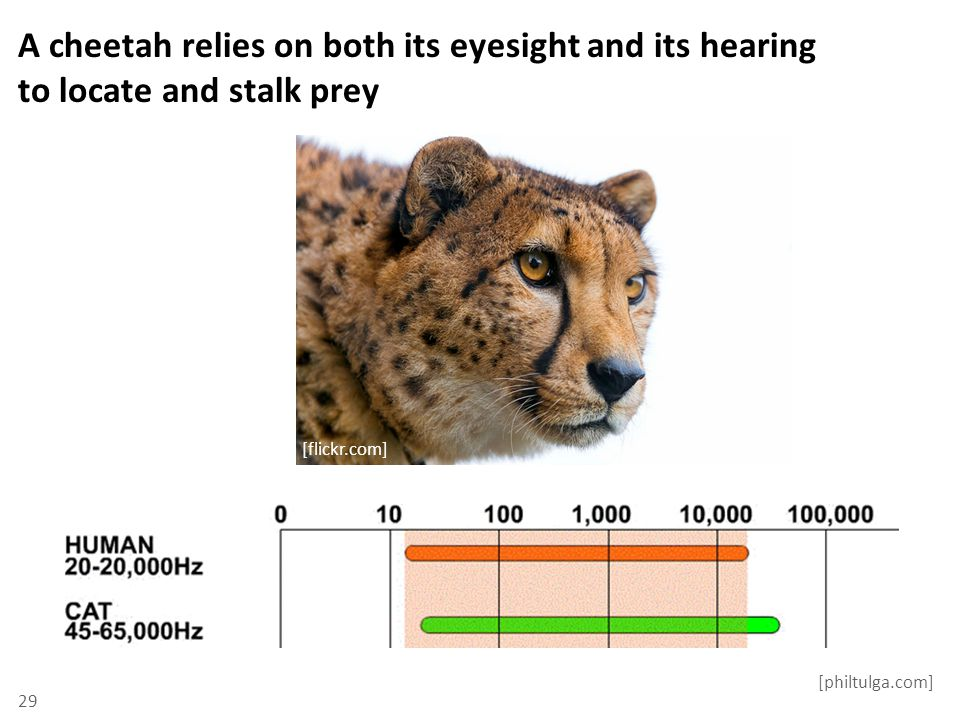 A cheetah relies on both its eyesight and its hearing to locate and stalk prey 29 [philtulga.com] [flickr.com]