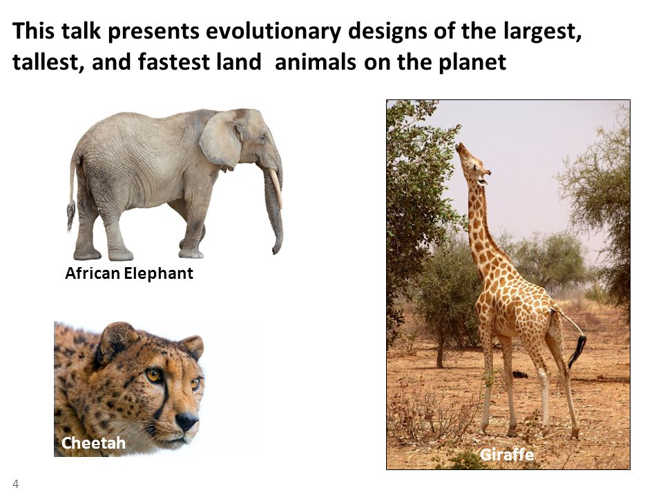 This talk presents evolutionary designs of the largest, tallest, and fastest land animals on the planet African Elephant Giraffe Cheetah 4