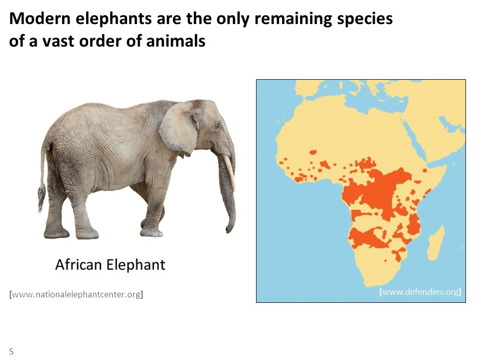 Modern elephants are the only remaining species of a vast order of animals [www.nationalelephantcenter.org] 5 [www.defenders.org]