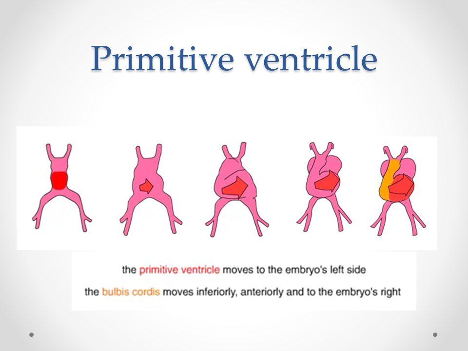 Primitive ventricle