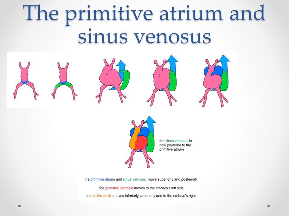The primitive atrium and sinus venosus
