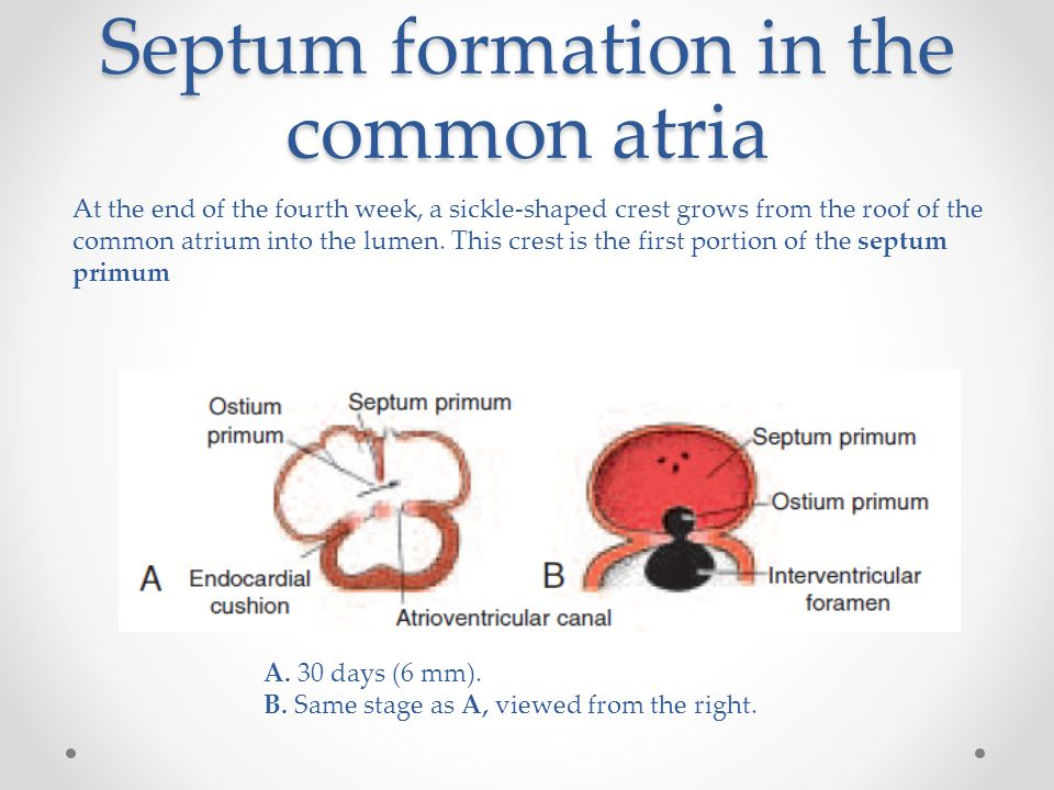 Septum formation in the common atria At the end of the fourth week, a sickle-shaped crest grows from the roof of the common atrium into the lumen. Thi