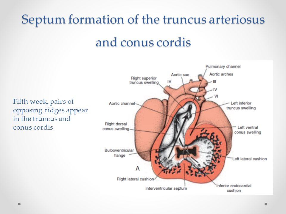Septum formation of the truncus arteriosus and conus cordis Fifth week, pairs of opposing ridges appear in the truncus and conus cordis