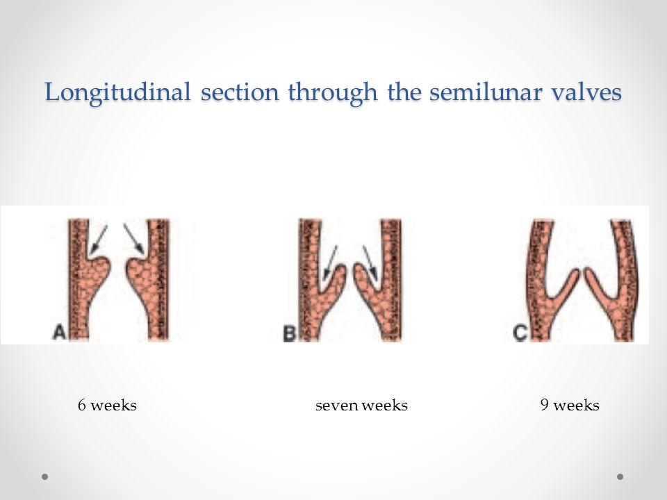 Longitudinal section through the semilunar valves 6 weeks seven weeks 9 weeks