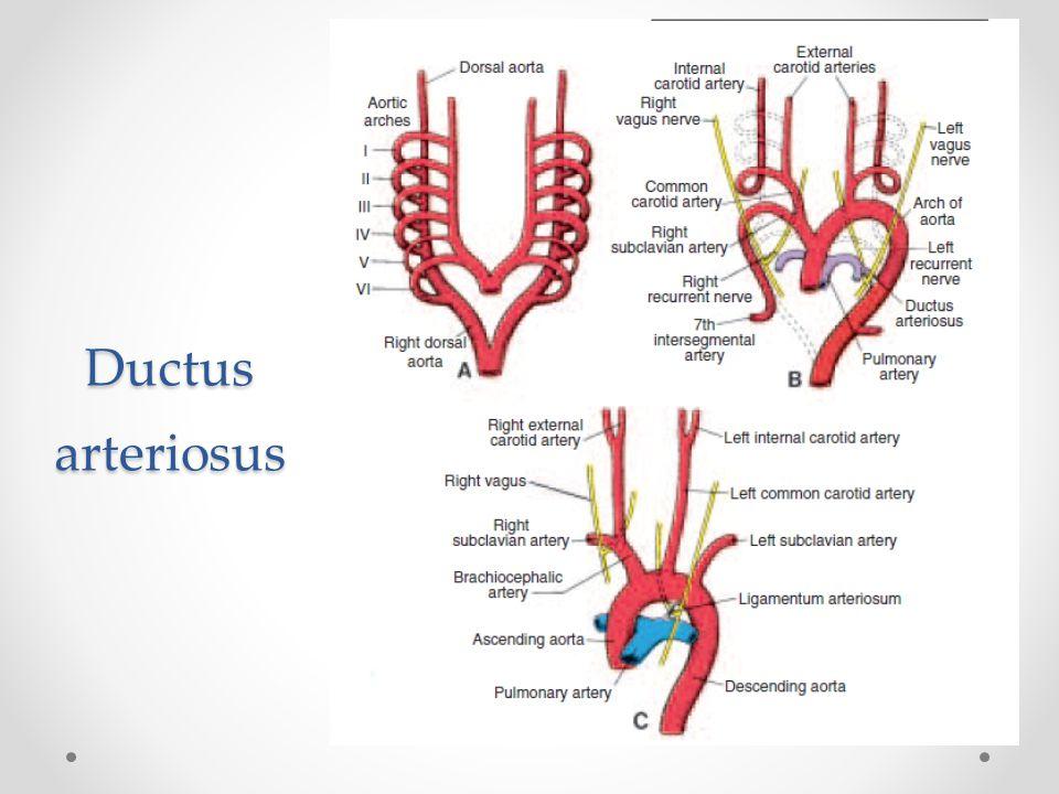 Ductus arteriosus