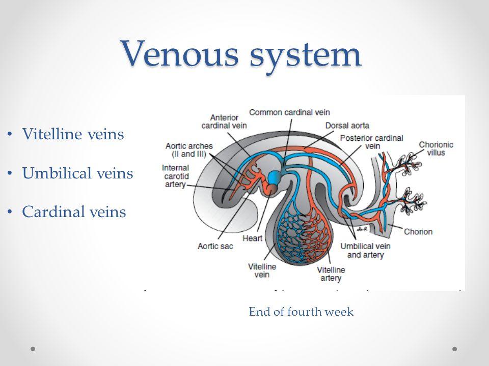 Venous system Vitelline veins Umbilical veins Cardinal veins End of fourth week