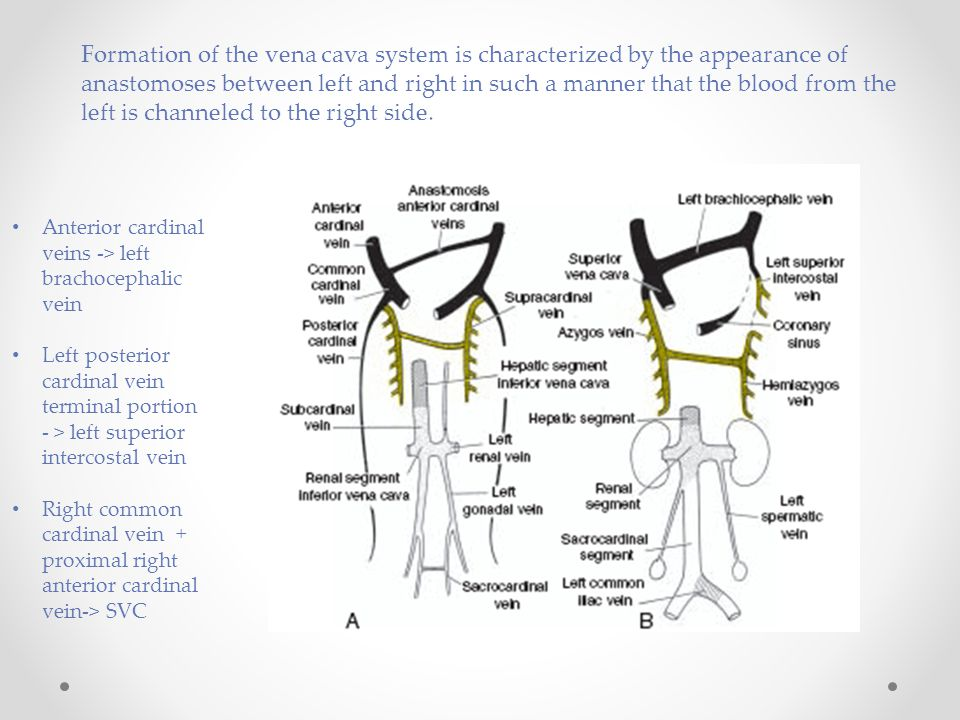 Formation of the vena cava system is characterized by the appearance of anastomoses between left and right in such a manner that the blood from the le